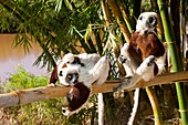 Couple of Coquerel´s Sifakas with an infant Propithecus coquereli, Endemic, Madagascar