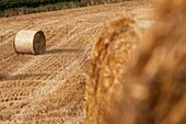 straw bales in a field in county down, northern ireland