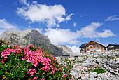 Alpine roses in front of hut Ingolstaedter Haus, Grosser Hundstod in the background, Steinernes Meer range, Berchtesgaden range, Salzburg, Austria