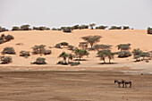 Donkeys on a dry lake in front of a red dune, Mauritania, Africa