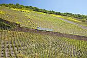 Weinberg bei Enkirch, Rapsblüte, Weinanbaugebiet, Rheinland-Pfalz, Deutschland, Europa
