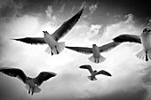 animal, Aquatic bird, bird, black and white, day, fauna, flight, flying, horizontal, Marine bird, nature, ornithology, outdoor, seabird, view from below, wild, wildlife, Worm's eye view, zoology, B75-1045751, AGEFOTOSTOCK