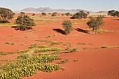 Namibia - Sand dunes with camelthorn trees Acacia erioloba and isolated mountain ridges at the edge of the Namib Desert In March during the rainy season with blooming Devil's Thorn Tribulus zeyheri