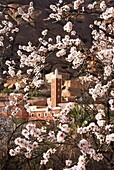 Morocco - Almond tree Prunus dulcis in blossom against the background of the minaret in the village of Adaï, near the town of Tafraoute in the Ameln valley Beginning of February Anti-Atlas mountains, Morocco