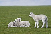 2010, agriculture, baby, breeding, Close-up, cold, Color image, Easter, field, freedom, game, green, group, interact, livestock, march, Norfolk, outdoor, playful, portrait, sheep, spring, young, C67-1188879, AGEFOTOSTOCK