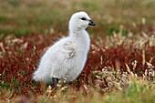 Kelp Goose babies, Chloephaga hybrida, Order Anseriformes, Family Anatidae, Sea Lion Island, Falklands islands