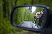Golden Retriever dog Moana reflected in the rear-view mirror of a car, Haunetal, Rhoen, Hesse, Germany, Europe
