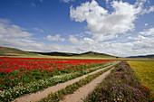 Poppy field near Castrojeriz, Camino Frances, Way of St. James, Camino de Santiago, pilgrims way, UNESCO World Heritage, European Cultural Route, province of Burgos, Old Castile, Castile-Leon, Castilla y Leon, Northern Spain, Spain, Europe