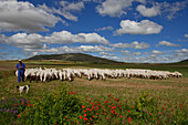 Shepherd with flock of sheep near Castrojeriz, Camino Frances, Way of St. James, Camino de Santiago, pilgrims way, UNESCO World Heritage, European Cultural Route, province of Burgos, Old Castile, Castile-Leon, Castilla y Leon, Northern Spain, Spain, Europ