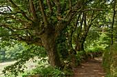 Track near Morgade, near Portomarin, Camino Frances, Way of St. James, Camino de Santiago, pilgrims way, UNESCO World Heritage, European Cultural Route, province of Lugo, Galicia, Northern Spain, Spain, Europe