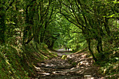 Sunken track near Palas de Rei, Camino Frances, Way of St. James, Camino de Santiago, pilgrims way, UNESCO World Heritage, European Cultural Route, province of Lugo, Galicia, Northern Spain, Spain, Europe