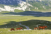 Savaged horses grazing in the mountains, Transhumanz, Campo Imperatore, Gran Sasso National Park, Abruzzi, Italy, Europe