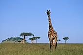 Giraffe in Masai Mara