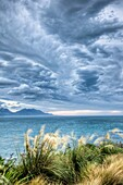 Pampas grass blowing in strong wind, NW storm clouds overhead, Kaikoura, New Zealand