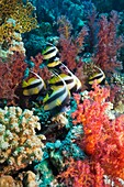 Red Sea bannerfish Heniochus intermedius with soft corals Egypt, Red Sea Digital capture