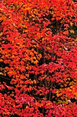 Red maple Acer rubrum Autumn foliage