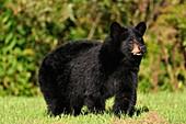 Black bear Ursus americanus Eating grass on residential lawn