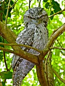 Fawny Frogmouth Podargus strigoides Mostly nocturnal, it roosts against a branch, laning trunk or broken stump They press their tail against the limb and adopt a stiff upright posture with the beak and forehead bristles pointed straight up blending …