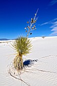 Yucca plant growing in sand White Sands National Monument New Mexico
