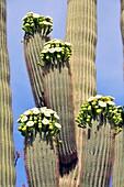 Blooming Saguaro Cactus Downtown Tucson Arizona