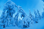 Snow landscapes in February with extreme cold conditions, Kuusamo, Finland