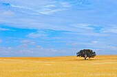 Weath Fields landscape with one Holm Oak tree. Beja Alentejo. Portugal.