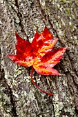 Autumn, Fall color, Leaf, Leaves, Midwest us, Tree, United states of america, Wisconsin, S19-1065137, agefotostock