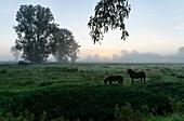 Horses on pasture, Ivenack, Mecklenburg Switzerland, Mecklenburg-Vorpommern, Germany