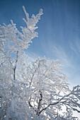 Snow- covered tree at Wasserkuppe mountain near Gersfeld, low mountain range, Rhoen, Hesse, Germany