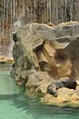 Sea lion at Siam Park, Las Americas,  South Tenerife, Canary Islands, Spain
