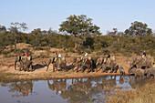 Tourists Riding On The Backs Of Elephants, Jabulani Elephant Camp, Private Reserve Of Kapama, Region Of The Kruger National Park, South Africa
