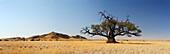 Panorama with camel-thorn tree in savannah, Acacia erioloba, Namib desert, Namib, Namibia