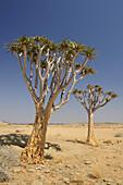 Quiver tree, Aloe dichotoma, Namib Naukluft National Park, Namib desert, Namib, Namibia