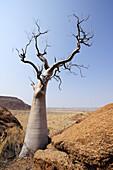 Kahler Baum über Savanne, Damaraland, Namibia