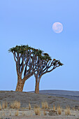Two quiver trees with moon, Aloe dichotoma, Namib Naukluft National Park, Namib desert, Namib, Namibia