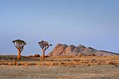 Two quiver trees in front of Blutkoppe, Aloe dichotoma, Namib Naukluft National Park, Namib desert, Namib, Namibia