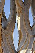 Trunk of quiver tree, Aloe dichotoma, Namib desert, Namib, Namibia