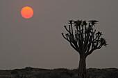 Quiver tree at sunrise, Aloe dichotoma, Namib Naucluft National Park, Namib desert, Namib, Namibia
