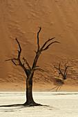 Abgestorbener Baum auf Tonboden vor roter Sanddüne, Deadvlei, Sossusvlei, Namib Naukluft National Park, Namibwüste, Namib, Namibia