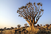 Quiver tree in quiver tree forest, Aloe dichotoma, Quiver tree forest, Keetmanshoop, Namibia