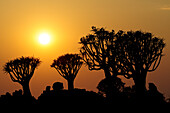 Sunrise over quiver trees in quiver tree forest, Aloe dichotoma, Quiver tree forest, Keetmanshoop, Namibia