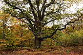 Old oek tree, nature reserve Urwald Sababurg, Reinhardswald, Hofgeismar, Hesse, Germany