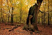 Torso einer alten Eiche, Naturschutzgebiet Urwald Sababurg im Reinhardswald, bei Hofgeismar, Hessen, Deutschland