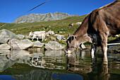 Cattle drinking, Fiescheralp, Canton of Valais, Switzerland