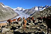 Goats on mount Eggishorn, Aletsch Glacier, Canton of Valais, Switzerland