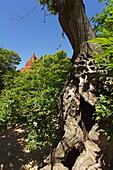 Las Medulas, tree in front of Roman gold mines, Province of Leon, Old Castile, Castile-Leon, Castilla y Leon, Northern Spain, Spain, Europe