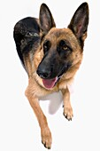 Retrato frontal de cuerpo entero sentado de un perro pastor alemán