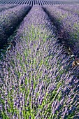 Close up of lavender field in Provence, France, Europe