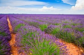 Rows of lavender on the Plateau de Valensole in Provence, France, Europe