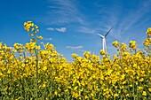 Field of rape with wind engine in Lower Saxony, Germany, Europe